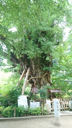 樹齢1000年の大木
